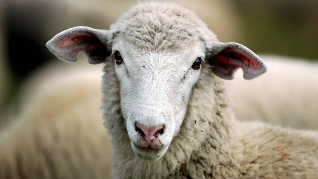 Im Raum Affeltrangen-Thundorf wurden versehentlich vier Schafe getötet. (Symbolbild)