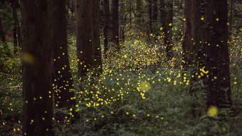 Fast wie Leuchtpflanzen: Glühwürmchen sorgen für natürliches Licht im Wald.