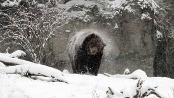 Grizzlys sind Einzelgänger und halten Winterschlaf