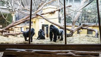 Die Gorillas im Zoo Zürich freuen sich über die Besucher.