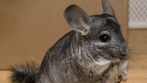 Viel flauschiges Fell: Chinchillas sind äusserst scheue Tiere, deren Haltung sehr anspruchsvoll ist. (Symbolbild)