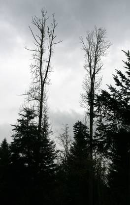 Zwei sterbende Eschen ragen in den Himmel