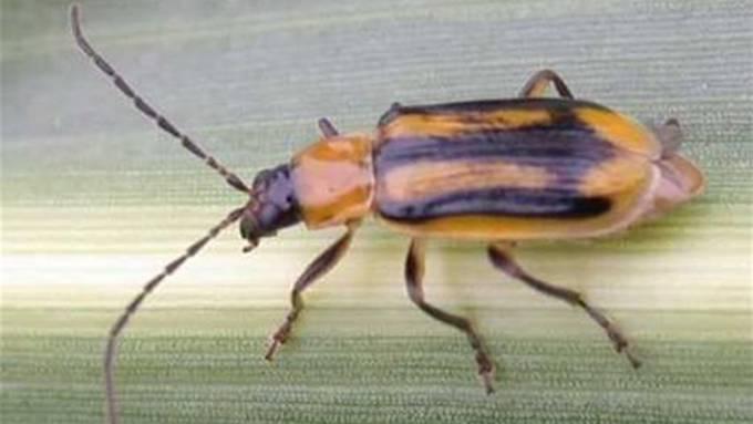 So sieht der ausgewachsene Maiswurzelbohrer aus. Bild: zvg