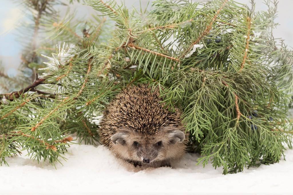 Igel im Winter (© iStock)
