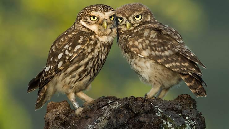 Immer öfter lässt sich dieses Bild in der Schweiz beobachten: ein erwachsener Steinkauz (links) kümmert sich um einen Jungvogel (rechts). (Archivbild)