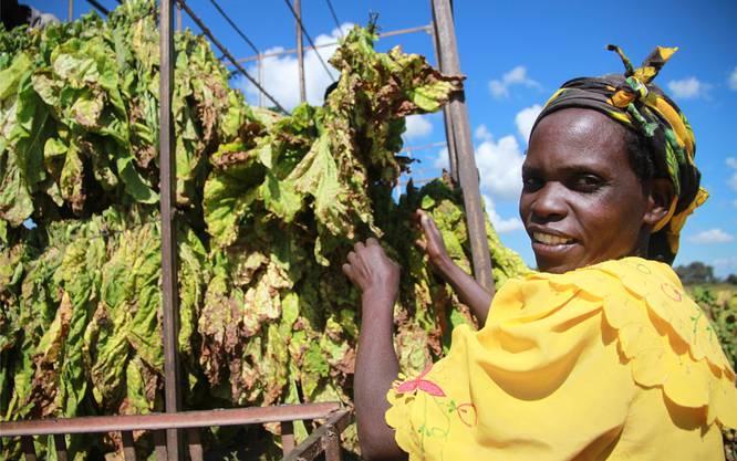 Arbeiterin bei der Tabakernte auf einem Feld der von Heinrich von Pezold geführten Farm in Simbabwe. Philipp Hedemann