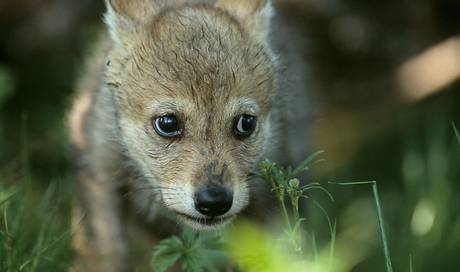 Wölfe zeugen Nachwuchs im Waadtländer Jura