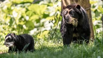 Die Verhütung beim Mann hat nicht funktioniert: Brillenbärin Cocha hat ein Jungtier geboren, obwohl Bärenmännchen Apu ein Hormonimplantat trägt, das seine Fruchtbarkeit unterdrücken sollte.