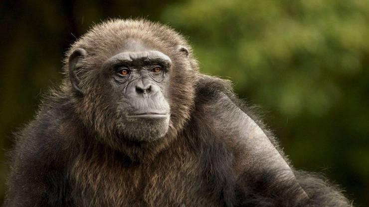 Das Bundesgericht hat entschieden, dass in Basel-Stadt über Grundrechte für Affen abgestimmt wird.