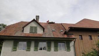 Die Störche finden wieder auf dem Dach des Luterbacher Golfclubs Wylihof Platz