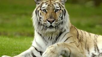 Ein Tiger ist über einen kleinen Jungen hergefallen (Symbolbild)