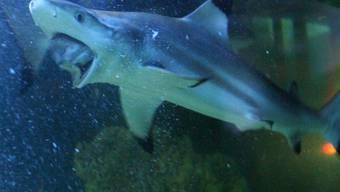 Ein Berner Forscher untersuchte, wo Raubfische wie der Hai in den Weltmeeren am meisten Beute machen (Themenbild).