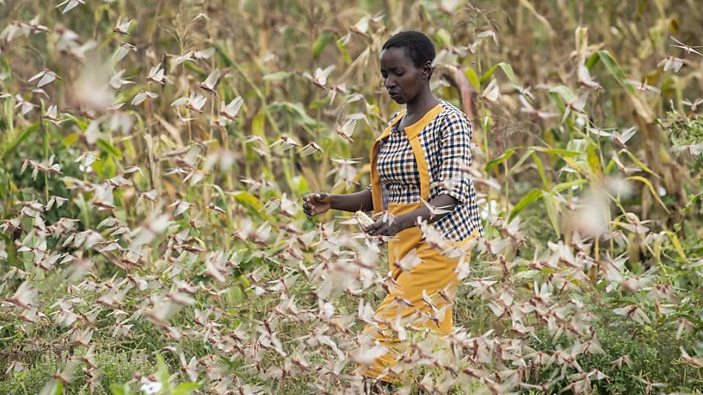 Ostafrika rüstet sich einmal mehr für die Bekämpfung einer Heuschrecken-Plage. (Archivbild)