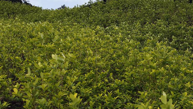 Ein Koka-Feld in Kolumbiens Bergen: Die Kokain-Anbaufläche im Land hat sich laut der UNO seit 2013 verdoppelt. (Archivbild)
