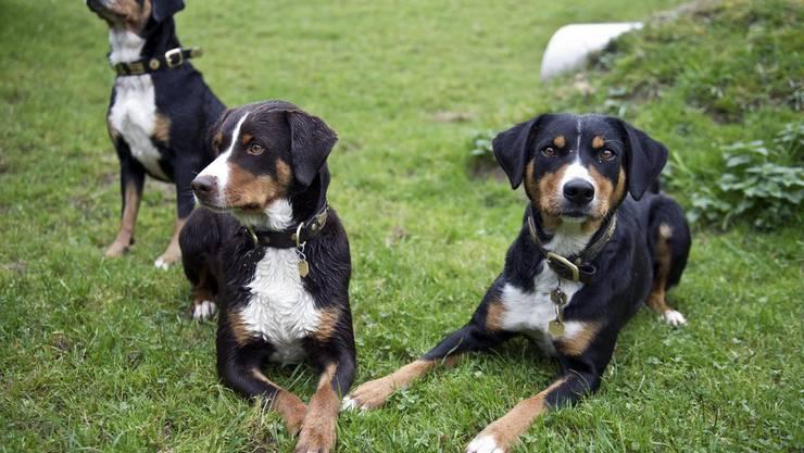 Die Hunde erhalten Asyl im Schwarzwald. (Symbolbild)