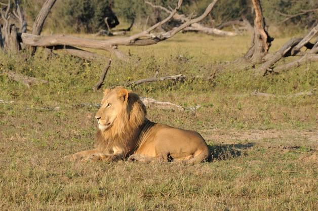 Löwen jagen nachts. Tagsüber schlagen sie zu, wenn sich ihnen einen günstige Gelegenheit bietet.