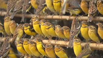 Weidenammern wie diese werden in China in so grossen Mengen gefangen, dass der Bestand um 90 Prozent eingebrochen ist