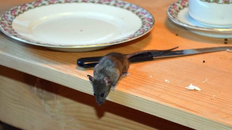 Möglichst alltagsnah werden die Nager im Müsli-Hüsli des Wildnisparks Zürich gezeigt. Dann und wann huscht eine Maus über den Tisch.