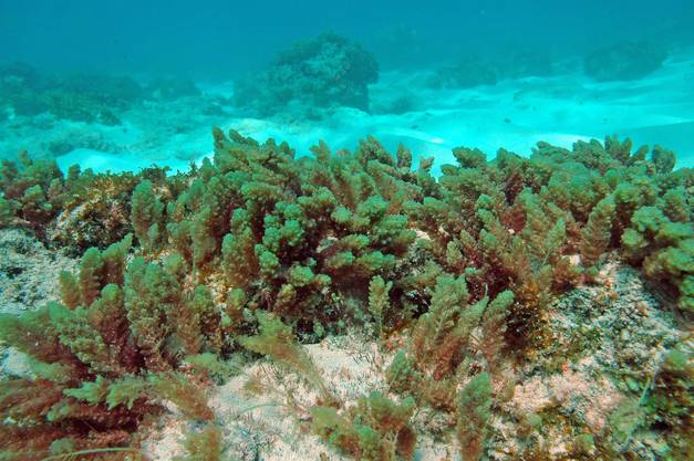 Wird in der hawaiianischen Küche als Delikatesse verwendet: die blassrote Alge Asparagopsis taxiformis.