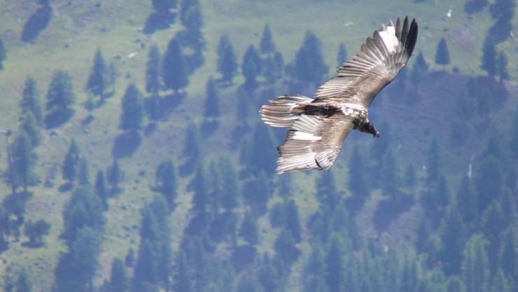 Ein Raubvogel zieht über dem Ofenpass seine Kreise. (Symbolbild)