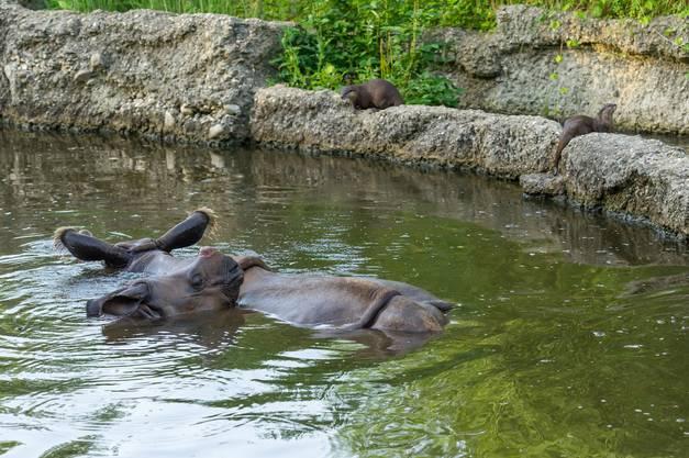 Auf der Nashornanlage, auf der sie seit fünf Jahren gemeinsam mit den Nashörnern leben, sind im April zwei Junge zur Welt gekommen.