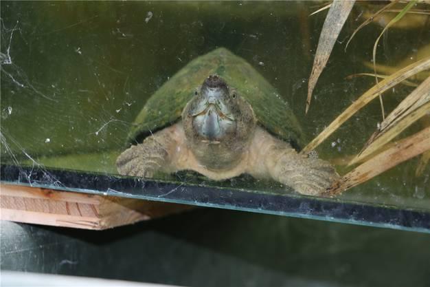 Mit bis zu mehreren hundert Kilogramm Beisskraft pro Quadratzentimeter zermalmt eine Schnappschildkröte selbst die Panzer ihrer Artgenossen.