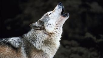 Wolfsgeheul verrät viel über das Rudel, aber auch über ein einzelnes Tier.Thinkstock
