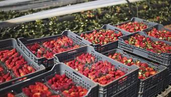 Das aktuelle Grenzschutzsystem macht Importe, die über einer bestimmten Kontingentmenge liegen, unattraktiv. Man kann dies jedes Jahr an den Erdbeerpreisen beobachten: Sobald die einheimischen Erdbeeren auf den Markt kommen, steigen die Preise. (Archivbild)