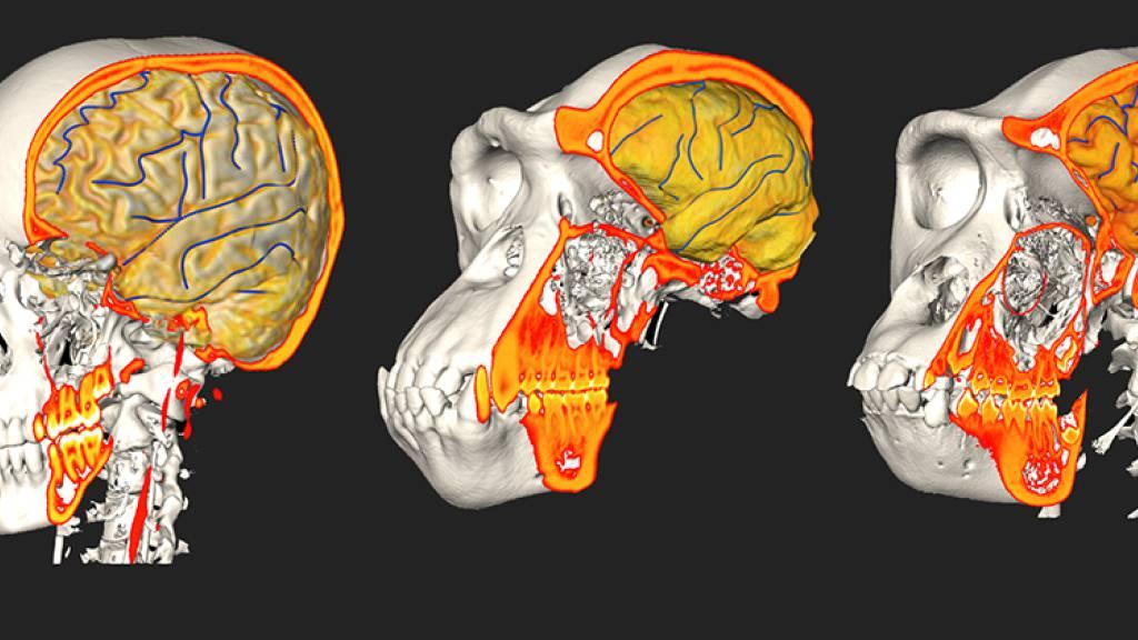 Hirn und Schädel gingen eigene Wege bei der Evolution