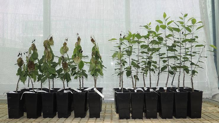 Herkömmliche und genetisch veränderte Gala-Apfelbäumchen im Feuerbrandtest. Die cisgenen Pflanzen auf der rechten Seite besitzen laut Agroscope eine höhere Feuerbrandresistenz.