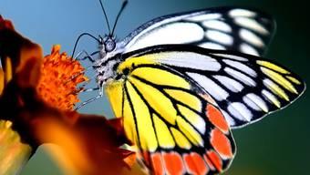 Vor allem Schmetterlinge sind vom grossen Insektensterben betroffen.