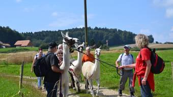 Die 21. Etappe ist tierisch anders: Lamas wandern erstmals mit