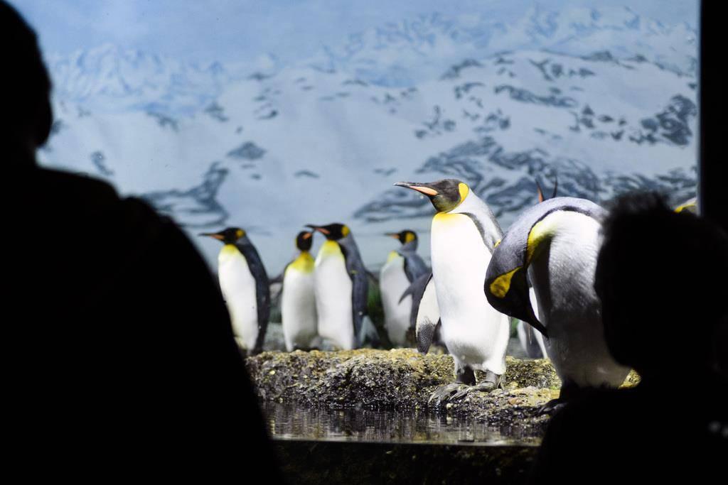 Pinguinzuwachs im Zoo Zürich