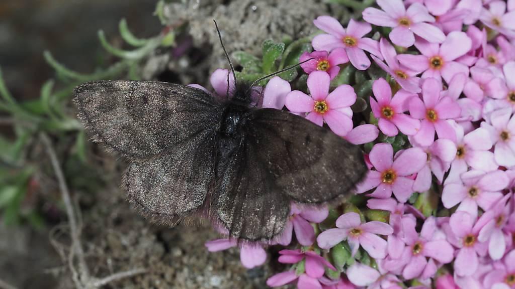 Schmetterlingsforscher befürchteten, dass die Art «Wehrlis Gletscherspanner» in Südtirol verschwunden ist. Nun wurden sie aber fündig. (Pressebild)