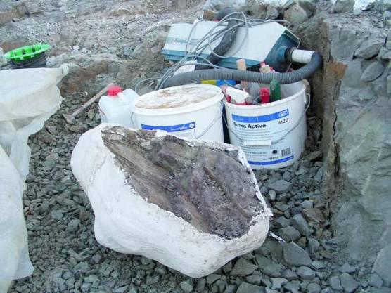 In der Fricker Tongrube freigelegte Knochenteile mit aufwändigem Verfahren gesichert