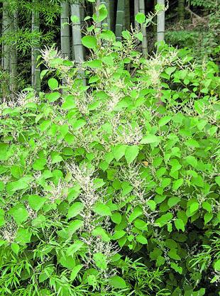 Der Japanische Staudenknöterich (Reynoutria japonica) kam 1823 als Zier- und Futterpflanze nach Europa.