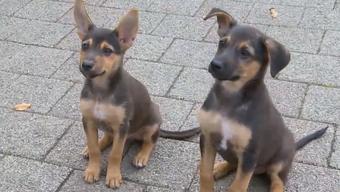Sie wurden auf brutale Weise ausgesetzt. Unbekannte warfen zwei Hundewelpen über den Zaun eines Winterthurers Tierheims.