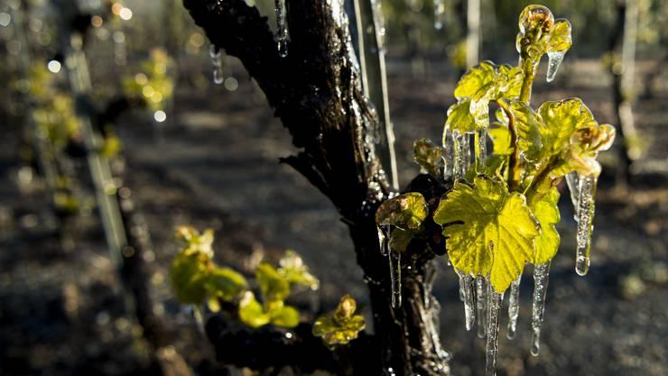 Später Frost machte den Reben im Baselbiet im April 2017 den Garaus. Die meisten Triebe erfroren.