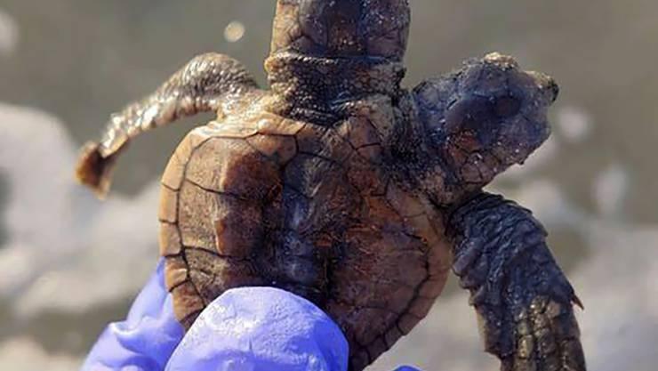 """Die Schildkröte mit zwei Köpfen erhielt den Namen """"Squirt und Crush"""", bevor sie ins Meer entlassen wurde."""