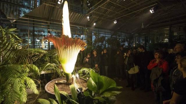Tag und Nacht bewunderten Besucher in Basel die blühende Titanwurz