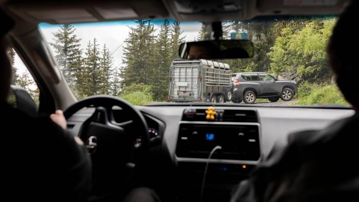 Sanner Silvio Salzmann fährt einen Viehtransport mit Schafen von Naters auf die Belalp.