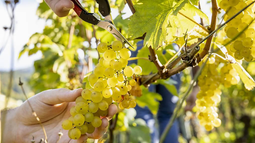 An Samstag organisierte Swiss Wine Promotion die Veranstaltung «Au coeur des vendanges». Interessierte konnten sich einen Tag lang bei der Weinlese über die Trauben und die daraus gewonnenen Tropfen informieren.