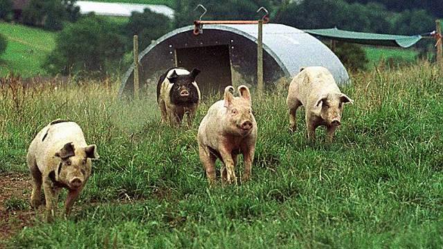 Schweine auf Hof bei Wädenswil (Symbolbild)