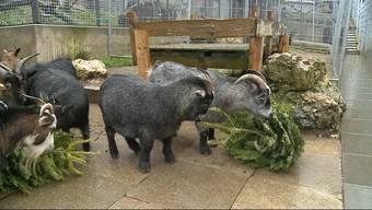 Tierische Weihnachten: In Olten werden die nicht verkauften Weihnachtsbäume nicht einfach verbrannt, sondern an Tiere verfüttert.