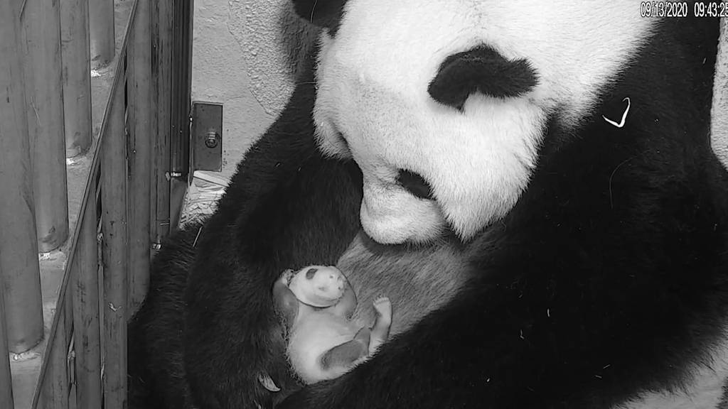Panda-Papa verrät Geschlecht von Sprössling mit selbst gemaltem Bild