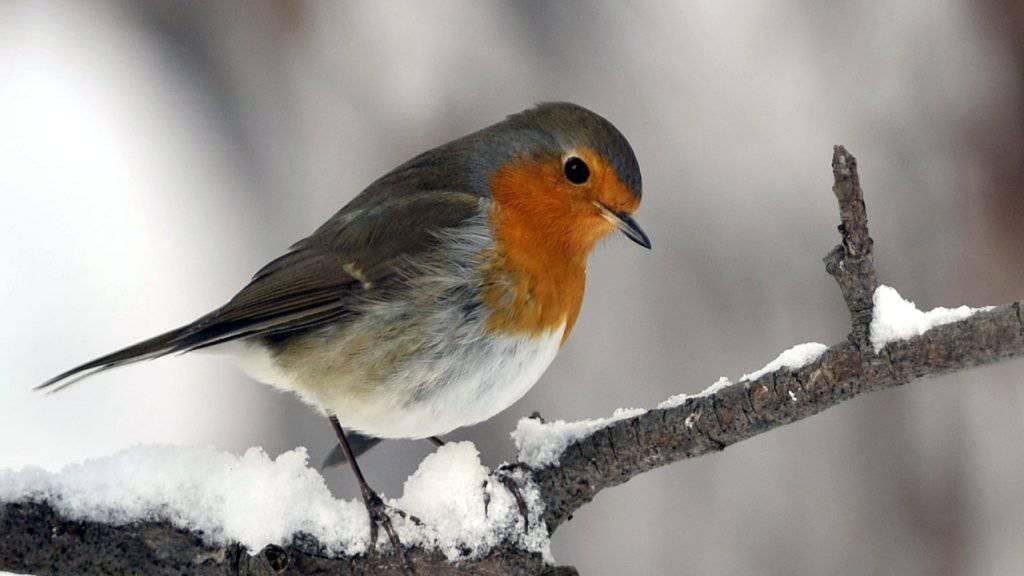 Zugvögel wie die Rotkehlchen können die Navigation auch als Erwachsene noch erlernen. Im Schweizer Mittelland bleiben Rotkehlchen über den Winter da.