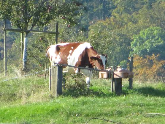Nicht nur wir haben Durst, nein auch unsere Nachbarin, richtig eine Kuh