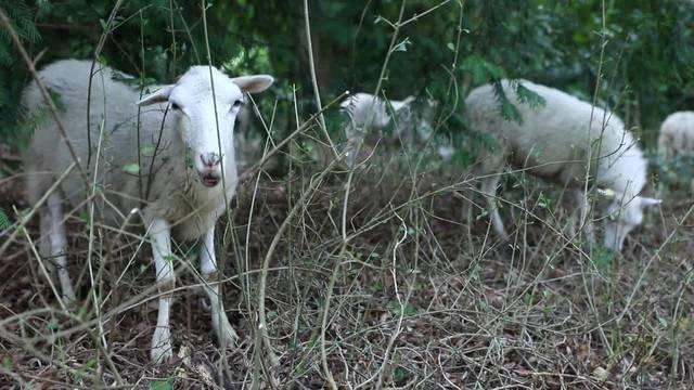 In Basel helfen Schafe auf dem Friedhof als Gärtner aus
