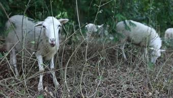 Die Stadtgärtnerei Basel beschäftigt eine Reihe von Schafen. Diese werden unter anderem auf dem grössten Friedhof der Schweiz eingesetzt. Eine spezielle Rasse, die vom Aussterben bedroht ist, hilft dabei, den Wald zu reinigen. Für Menschen wäre diese Arbeit viel aufwendiger als für die Vierbeiner.