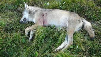 Ein abgeschossener Walliser Wolf im August 2010 - am Dienstag wurde im Wallis ein Wolf mit Schusswunde tot aufgefunden. (Archivbild)